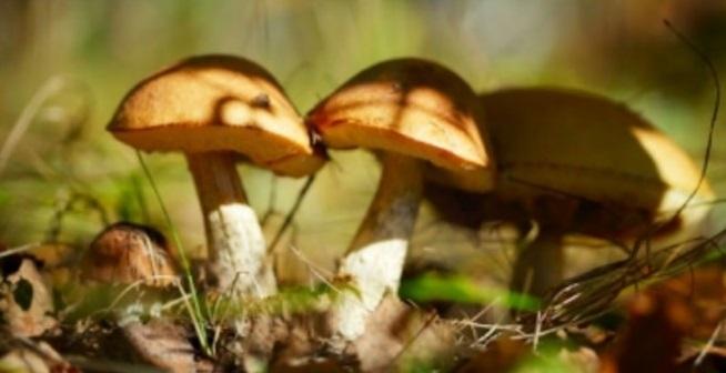 champignon-comestible