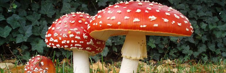 les-champignons-mortels