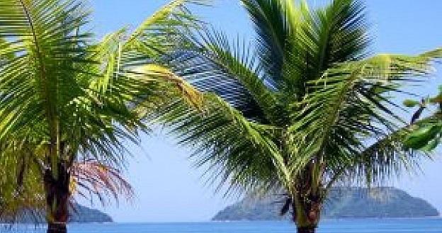 palmier comestibles